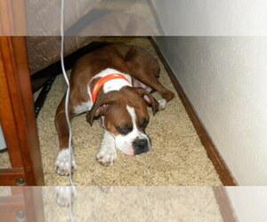 Main photo of Boxer Dog Breeder near MARSHFIELD, MO, USA