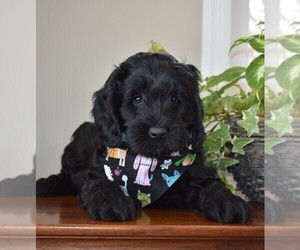Australian Labradoodle Dog Breeder in ANDOVER,  USA