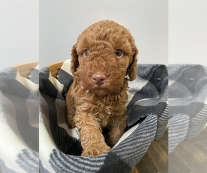Miniature Labradoodle Dog Breeder in ELSTONVILLE,  USA