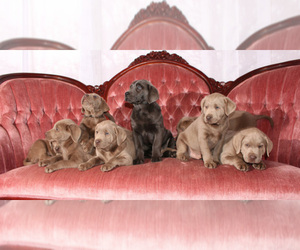 Labradoodle Breeder in MERIDIAN, TX
