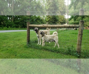 Main photo of Anatolian Shepherd Dog Breeder near HELLERTOWN, PA, USA