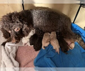 Main photo of Poodle (Miniature) Dog Breeder near ROCKVILLE, MD, USA