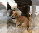 Dachshund Breeder in HEMPSTEAD, TX, USA