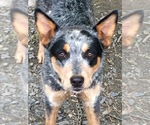 Australian Cattle Dog Breeder in RANDOLPH, VT, USA