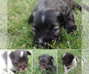 Main photo of Schnauzer (Miniature) Dog Breeder near WICHITA FALLS, TX, USA