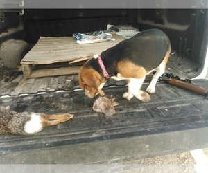 Beagle Dog Breeder near CAMDENTON, MO, USA