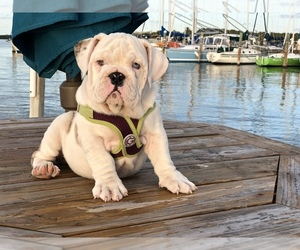 Main photo of English Bulldog Dog Breeder near MIAMI, FL, USA