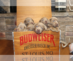 Main photo of Labrador Retriever Dog Breeder near MARSHFIELD, MO, USA