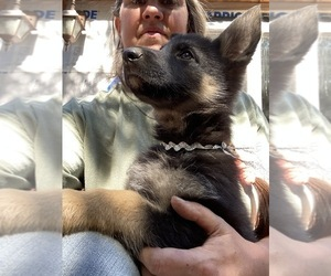 German Shepherd Dog Dog Breeder in SPIRIT LAKE,  USA