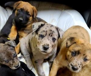 Main photo of Belgian Malinois-Mastiff Mix Dog Breeder near MARIPOSA, CA, USA