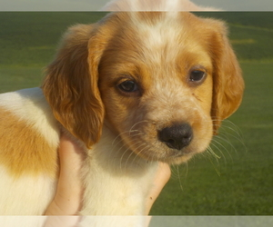 Main photo of Brittany Dog Breeder near MILFORD, IA, USA