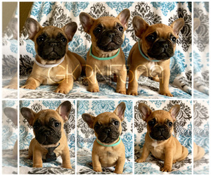 French Bulldog Dog Breeder in GRANDVIEW,  USA