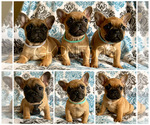 French Bulldog Breeder in GRANDVIEW, WA, USA