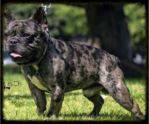 Main photo of French Bulldog Dog Breeder near CHULA VISTA, CA, USA