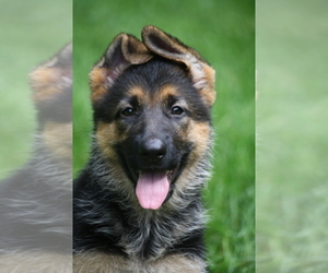 Main photo of German Shepherd Dog Dog Breeder near MALAGA, NJ, USA