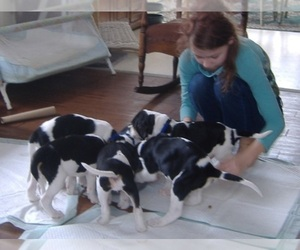 American Foxhound Dog Breeder near TROUPSBURG, NY, USA