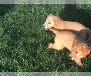 Main photo of Golden Pyrenees Dog Breeder near BUTLER, OH, USA