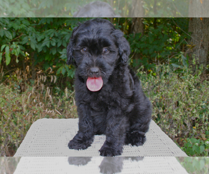 Australian Labradoodle Breeder in WADDY, KY, USA