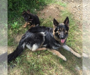 German Shepherd Dog Breeder in HOODSPORT, WA