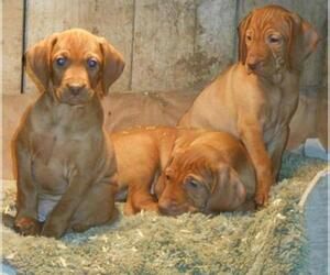 Vizsla Breeder in BRANCHVILLE, NJ, USA