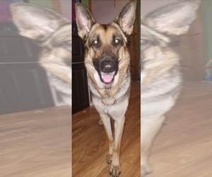 Main photo of German Shepherd Dog Dog Breeder near SANFORD, NC, USA