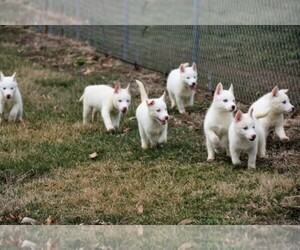 Main photo of Siberian Husky Dog Breeder near INDIANOLA, IA, USA