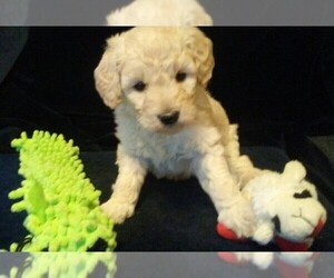 Goldendoodle Dog Breeder near NORTH LIBERTY, IN, USA