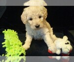 Goldendoodle Breeder in NORTH LIBERTY, IN, USA