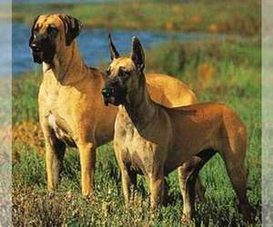 Main photo of Great Dane Dog Breeder near BRUNSWICK, GA, USA