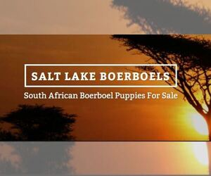Main photo of Boerboel Dog Breeder near CLEARFIELD, UT, USA