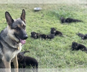 Main photo of German Shepherd Dog Dog Breeder near DALLAS, TX, USA