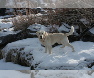 Main photo of Golden Retriever Dog Breeder near SAINT PAUL, MN, USA