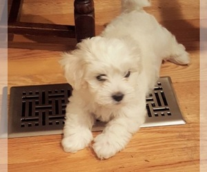 Main photo of Maltese Dog Breeder near CENTREVILLE, VA, USA