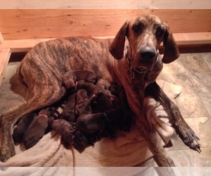 Great Dane Breeder in CALHAN, CO