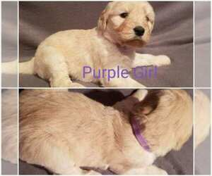 Main photo of Goldendoodle Dog Breeder near SAINT FRANCIS, MN, USA