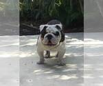 Bulldog Breeder in ORLANDO, FL