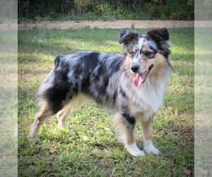 Miniature American Shepherd Dog Breeder in THONOTOSASSA,  USA