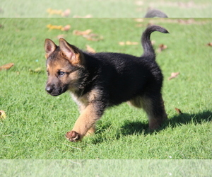 German Shepherd Dog Dog Breeder in MORRISVILLE,  USA