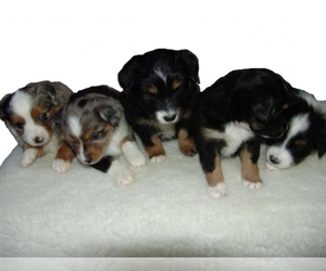 Main photo of Australian Shepherd Dog Breeder near MORENO VALLEY, CA, USA