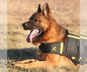 Main photo of German Shepherd Dog Dog Breeder near EDWARDS, MO, USA