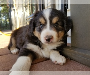 Miniature Australian Shepherd Dog Breeder in DURANGO,  USA