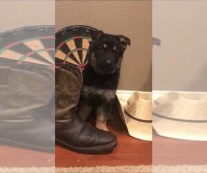 Main photo of German Shepherd Dog Dog Breeder near GROVE, OK, USA