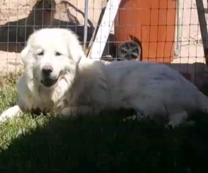 Great Pyrenees Dog Breeder near PLACITAS, NM, USA