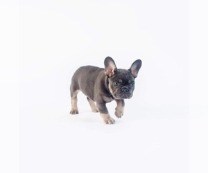 Main photo of French Bulldog Dog Breeder near HICKORY CREEK, TX, USA