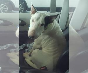 Bull Terrier Dog Breeder near ARCADE, GA, USA