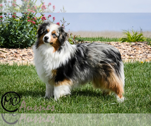 Main photo of Miniature Australian Shepherd Dog Breeder near OAKLEY, KS, USA