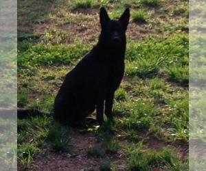 German Shepherd Dog Breeder in CLAREMONT, NC, USA