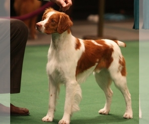 Brittany Dog Breeder near MUSTANG, OK, USA