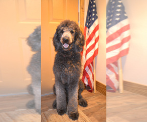 Goldendoodle Dog Breeder in HULL,  USA