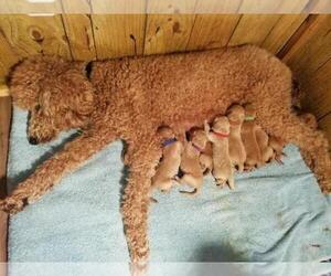 Main photo of Goldendoodle Dog Breeder near COLUMBUS, GA, USA